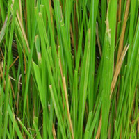 Base note: Haitian Vetiver