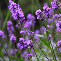 Heart note: Lavender