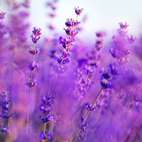Top note: Lavender