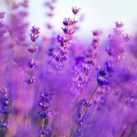 Top note: Lavender