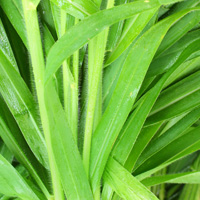 Base note: Vetiver